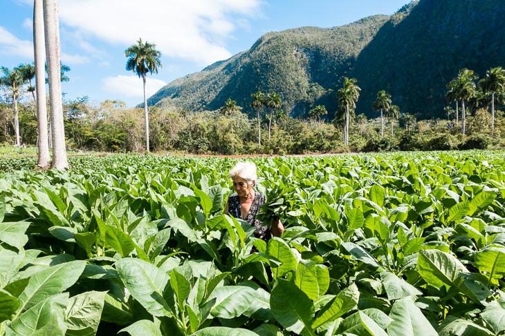 Tobacco, local farmers cash crop