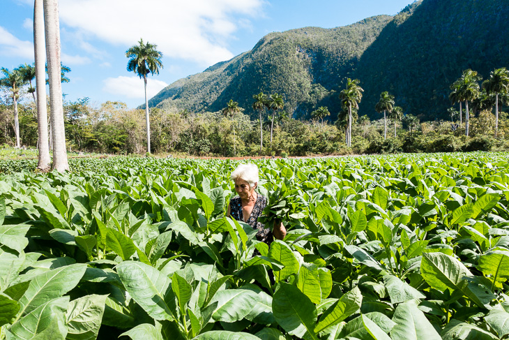 Tobacco, local farmers cash crop
