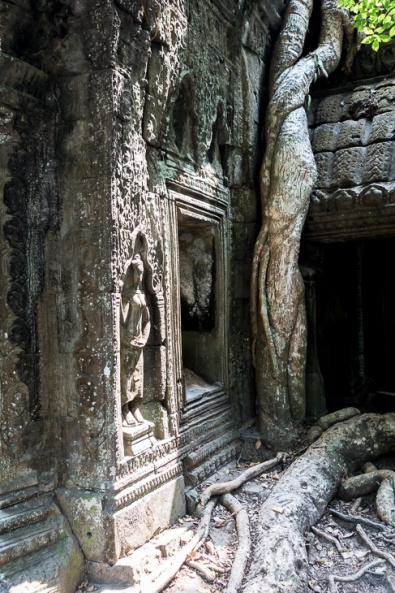 FIG TREES IN TA PROHM TEMPLE