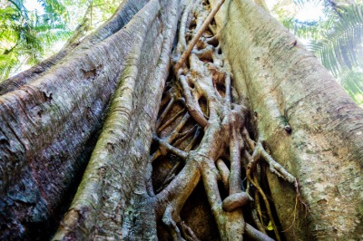 Strangler fig lives up to its name