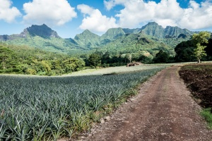 Pineapple plantations