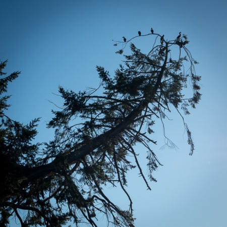 Cormorants drying their wings