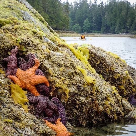 Sea stars (photo by Rod)